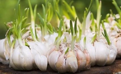 111 zvbb - 3 loại rau củ mọc mầm lại chứa hàm lượng dinh dưỡng giúp trẻ cao vượt trội